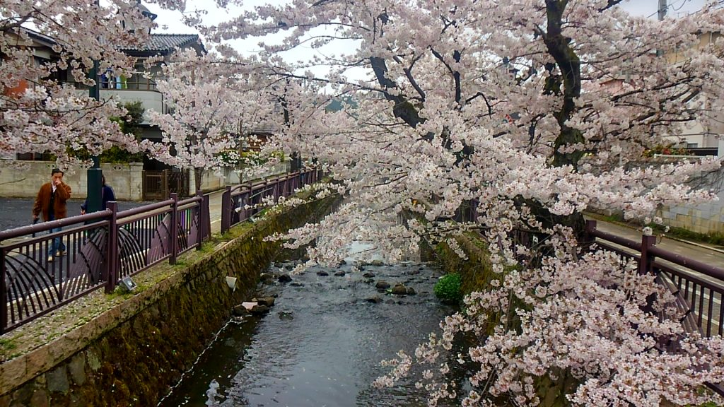 八瀬川の桜
